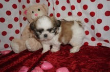 Luke Male CKC Shih Tzu $1750 Ready 1/28 HAS DEPOSIT MY NEW HOME YULEE, FL 2.5lbs 6wk3d old
