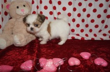 Lulu Female CKC Shih Tzu $1750 Ready 1/28 SOLD MY NEW HOME SATELLITE BEACH, FL 1.14lbs 6wk3d old