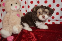 Matthew Male Havanese $2000 Ready 1/22 AVAILABLE 2.9 lbs 7wk2d old