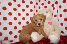 Prissy Female CKC Morkipoo $2000 Ready 1/23 SOLD MY NEW HOME ORMOND BEACH, FL 2.4lbs 7wk1d old