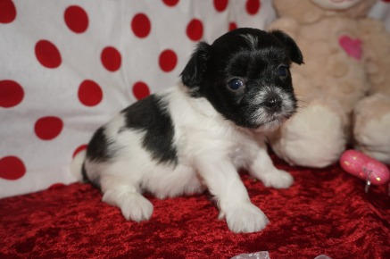 Pucker Male Miki $2000 Ready 2/14 AVAILABLE 1.5lbs 4wks old