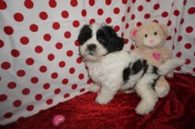 Romeo Male Teddy Bear a/k/a CKC Shicon $1750 Ready 1/11 SOLD MY NEW HOME SEMINOLE, FL 4.15lbs 9wks old
