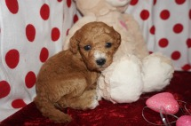 ROSE Female CKC Mini Labradoodle $2000 Ready 2/10 HAS DEPOSIT MY NEW HOME FB, FL 1.2lbs 4wk1d old