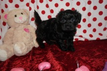 Sassy Female CKC Morkipoo $1750 Ready 1/23 SOLD MY NEW HOME GEORGIA, FL 2.4lbs 7wk1d old