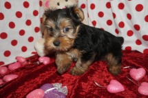 Sonny Male CKC Yorkie $2000 Ready 1/25 HAS DEPOSIT MY NEW HOME JACKSONVILLE, FL 2.12lbs 7wks old