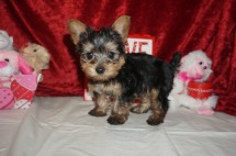 Pepper Male CKC Yorkie $2000 Ready 2/6 SOLD MY NEW HOME BRUNSWICK, GA 1.14 lbs 6W6D Old