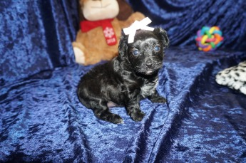 Itsy Female CKC T-Cup Yorkipoo $1750 Ready 1/30 HAS DEPOSIT MY NEW HOME MACCLENNY, FL! 1.10lbs 4wks old