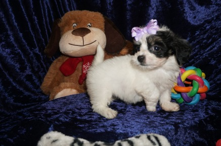 Mercedes Female CKC Havanese $1750 Ready 1/10 HAS DEPOSIT MY NEW HOME POWHATTAN POINT, OH 1.12lbs 7wks old