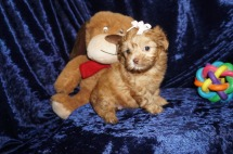 Pumpkin Spice Female CKC Malshipoo $2000 Ready 1/10 SOLD MY NEW HOME ODESSA, FL 2lbs 7wks old