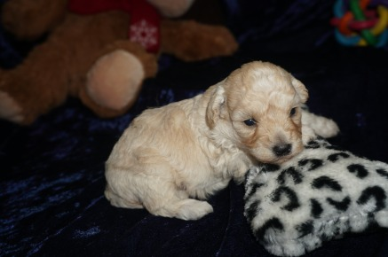 Joey Male CKC Maltipoo $1750 READY ON 2/9 HAS DEPOSIT MY NEW HOME ST JOHNS, FL 14oz 3wk4d old