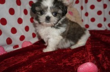 Lucas Male CKC Shih Tzu $1750 Ready 1/28 AVAILABLE 1.14lbs 6wk3d old