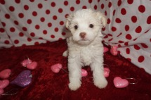 Miracle Female Havanese $1750 Ready 1/22 HAS DEPOSIT MY NEW HOME JACKSONVILLE. FL 2.7lbs 7wk2d old