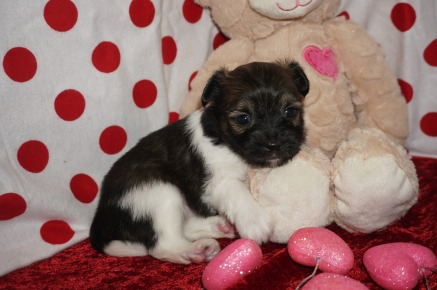 Pookie Male Miki $2000 Ready 2/14 AVAILABLE 1.7lbs 4wks old