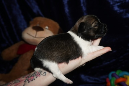 Pookie Male Miki $2000 Ready 2/14 AVAILABLE 13.5oz 2wks old