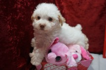 Jet Male CKC Maltipoo $1750 READY ON 2/9 SOLD MY NEW HOME JACKSONVILLE, FL 1.14lbs 6W2D old