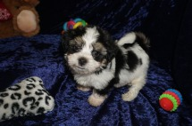 Benz Male CKC Havanese $1750 Ready 1/10 SOLD MY NEW HOME JACKSONVILLE BEACH, FL 1.14lbs 7wks old