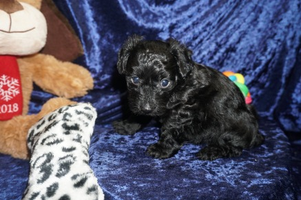 Bowzer Male CKC Morkipoo $1750 Ready 1/23 HAS DEPOSIT MY NEW HOME CALLAWAY, MD 1.14lbs 5wks old