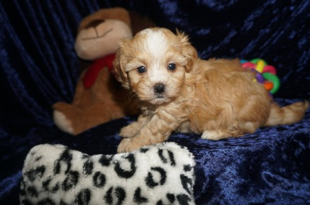 Mario Male CKC Havapoo $2000 Ready 1/18 SOLD My new home is in Jacksonville, FL! 1.14lbs 6wks old