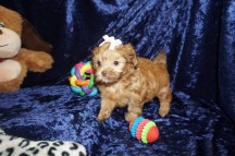 Pumpkin Spice Female CKC Malshipoo $2000 Ready 1/10 HAS DEPOSIT MY NEW HOME ODESSA, FL 2lbs 7wks old