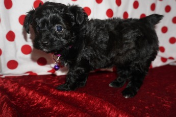Itsy Female CKC T-Cup Yorkipoo $1750 Ready 1/30 HAS DEPOSIT MY NEW HOME MACCLENNY, FL! 1.14lbs 6wk1d old