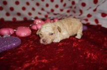 Jane Hathaway Female CKC Maltipoo $2000 Ready 2/23 AVAILABLE 8.3oz 2wk3d old