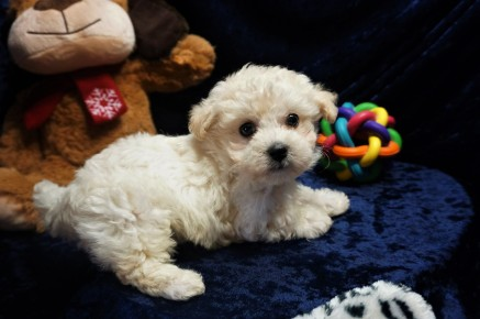 Hercules Male CKC Maltipoo $1750 Ready 1/10 SOLD MY NEW HOME ST AUGUSTINE, FL 1.10lbs 7wks old