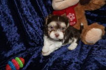Matthew Male Havanese $2000 Ready 1/22 AVAILABLE 2lbs 5wk2d oldc