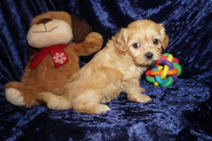 Milly Female CKC Havapoo $2000 Ready 1/18 SOLD MY NEW HOME IS 1.12lbs 6wks old