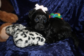 Sassy Female CKC Morkipoo $1750 Ready 1/23 HAS DEPOSIT MY NEW HOME JACKSONVILLE, FL 1.11lbs 5wks old