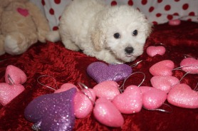 Alfie Male CKC Maltipoo $1750 Ready 1/18 SOLD! MY NEW HOME IS IN JAX,FL 2.13lbs 8wks old