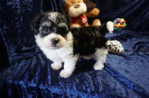 Bentley Male CKC Havanese $1750 Ready 1/10 HAS DEPOSIT MY NEW HOME JACKSONVILLE, FL 2.5lbs 7wks old