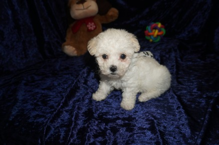 Harley Male CKC Maltipoo $1750 Ready 1/10 SOLD MY NEW HOME JACKSONVILLE, FL 1.12lbs 7wks old