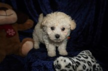 Hercules Male CKC Maltipoo $1750 Ready 1/10 HAS DEPOSIT MY NEW HOME ST AUGUSTINE, FL 1.10lbs 7wks old