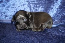 Love Bug Male CKC T-Cup Yorkipoo $1750 Ready 2/3 HAS DEPOSIT MY NEW HOME ST JOHNS, FL 1.2lbs 2wk4d old
