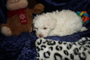 Alvin Male CKC Maltipoo $1750 Ready 1/18 AVAILABLE 1.13lbs 6wks old