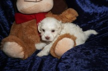 Archie Male CKC Maltipoo $1750 Ready 1/18 AVAILABLE! 1.6lbs 6wks old