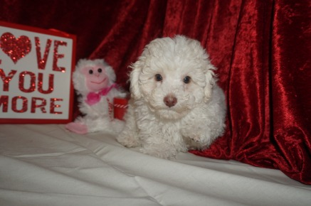 Alvin Male CKC Maltipoo $1750 Ready 1/18 SOLD MY NEW HOME ORLANDO, FL 3.4lbs 9wks old
