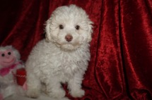 Alvin Male CKC Maltipoo $1750 JUST DISCOUNTED $1500 Ready 1/18 SOLD MY NEW HOME ORLANDO, FL 3.4lbs 9wks old