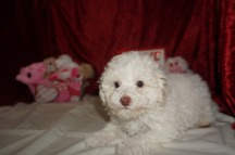 Alvin Male CKC Maltipoo $1750 BUT RIGHT SPECIAL $1500 Ready 1/18 SOLD MY NEW HOME ORLANDO, FL 3.4lbs 9wks old