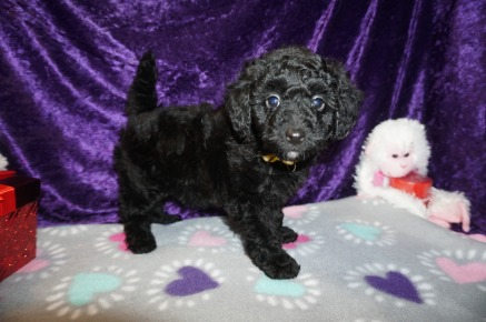 Beau Male CKC Mini Labradoodle $2000 Ready 2/10 SOLD MY NEW HOME Fleming Island, FL 3.3lbs 8wks old