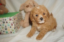 Blossom Female CKC Mini Labradoodle $2000 Ready 3/2 SOLD MY NEW HOME IS IN JAX, FL. 1.9lbs 6W3D Old