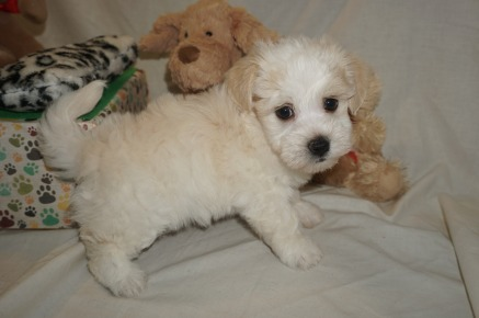Buckwheat Male Havanese $1750 Ready 3/7 SOLD MY NEW HOME JACKSONVILLE, FL 2.11 lbs 6W2D Old