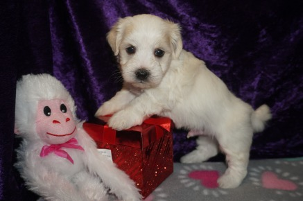 Buckwheat Male Havanese $1750 Ready 3/7 AVAILABLE 1.5 lbs 2W5D Old