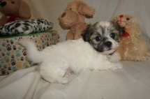 Charlie Male CKC Havamalt $1750 Ready 3/8 HAS DEPOSIT MY NEW HOME JACKSONVILLE, FL 1.13 lbs 6W1D old