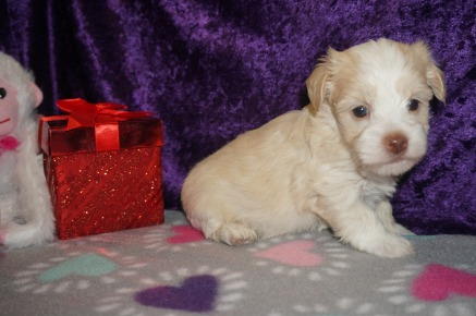 Darla Female Havanese $1750 Ready 3/7 HAS DEPOSIT MY NEW HOME PONTE VEDRA BEACH, FL 1.14 LBS 4W5D Old