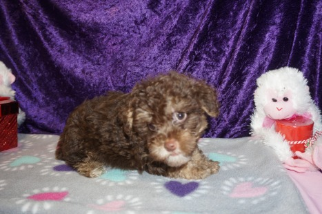 Jesse Male CKC Maltipoo $2000 READY ON 2/9 SOLD MY NEW HOME MIAMI, FL 2.8lbs 8wk6d old