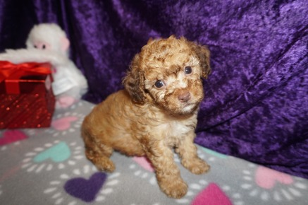 Jethro Bodine Male CKC Maltipoo $2000 Ready 2/23 SOLD My new home is in Winter Park, FL! 1.9lbs 6 weeks old