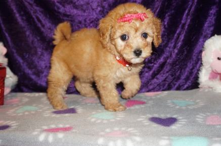Juliet Female CKC Mini Labradoodle $2000 Ready 2/10 HAS DEPOSIT MY NEW HOME FLEMING ISLAND, FL 2.2lbs 8wks old