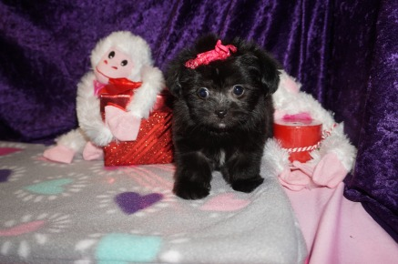 Kiss Female Miki $2000 Ready 2/14 SOLD MY NEW HOME LAKE MARYS, GA 1.5lbs 7wk4d old