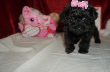 Lady Bug Female CKC T-Cup Yorkipoo $1750 Ready 2/3 SOLD MY NEW HOME MIDDLEBURG, FL 1.13 lbs 7W3D old